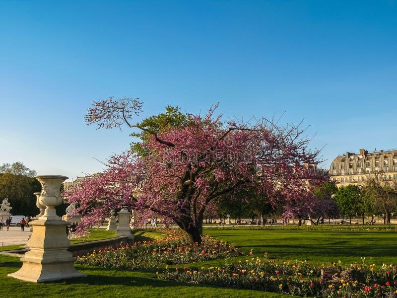 巴黎-与郁金香的紫色树在日落在Tuileries庭院里 免版税库存图片