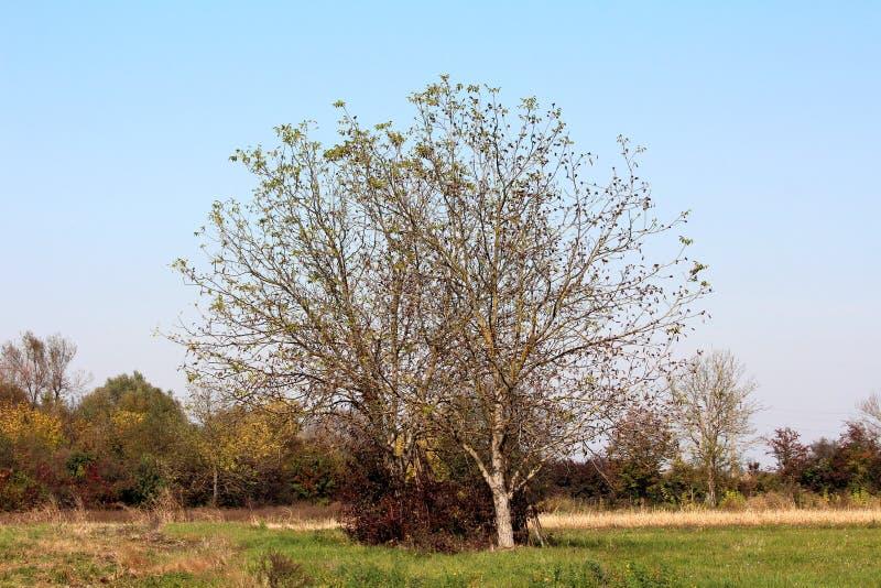与部分地落叶的两棵大核桃树围拢与未割减的草和小树和其他秋天森林植物群落 免版税库存图片