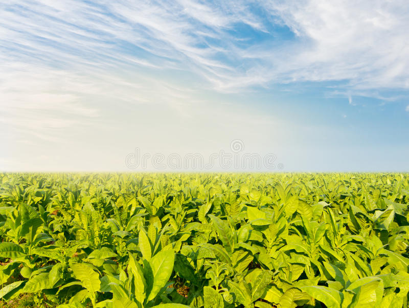 与部份雾的烟草田在蓝天下 免版税库存图片