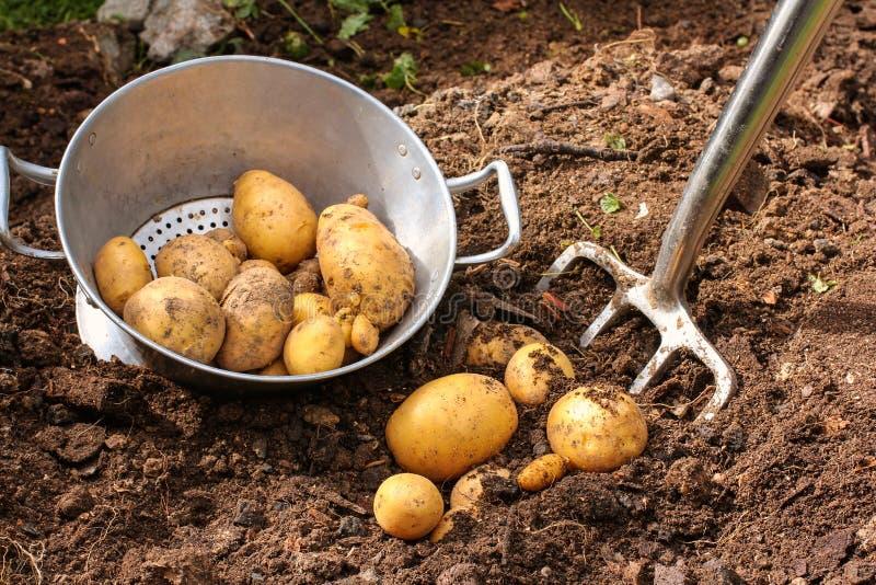 与酒吧锹的土豆收获 库存照片