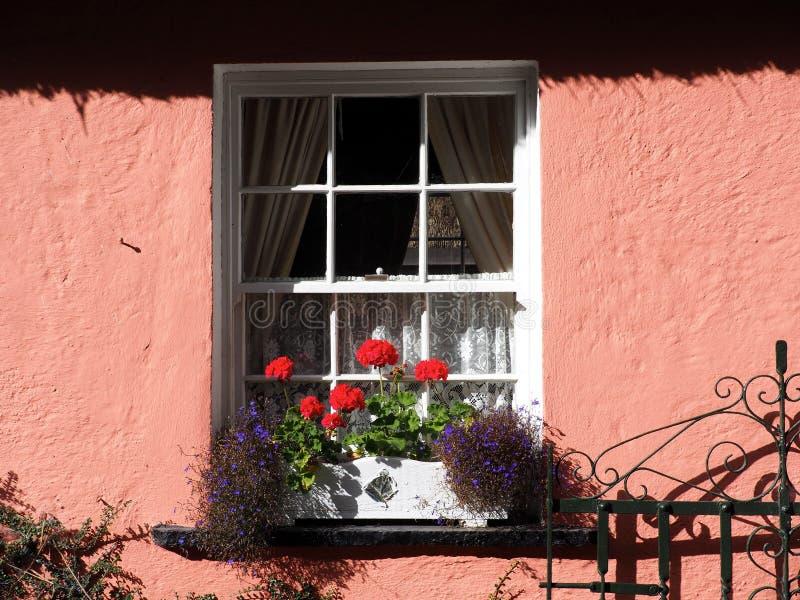 与采撷大竺葵和桃红色墙壁的窗口 免版税库存照片