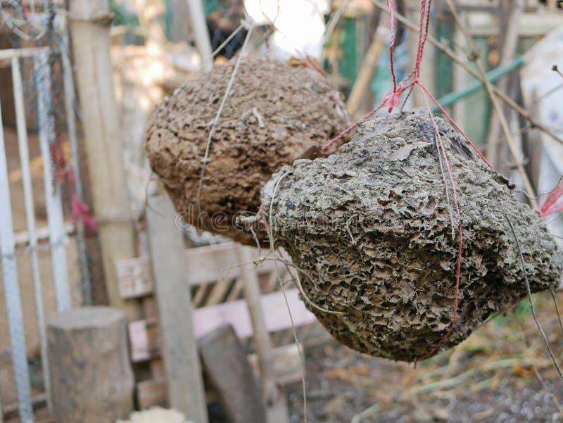 与里面幼小白蚁的白蚁巢,挖掘从地面,垂悬和准备使用喂养鸡 库存照片