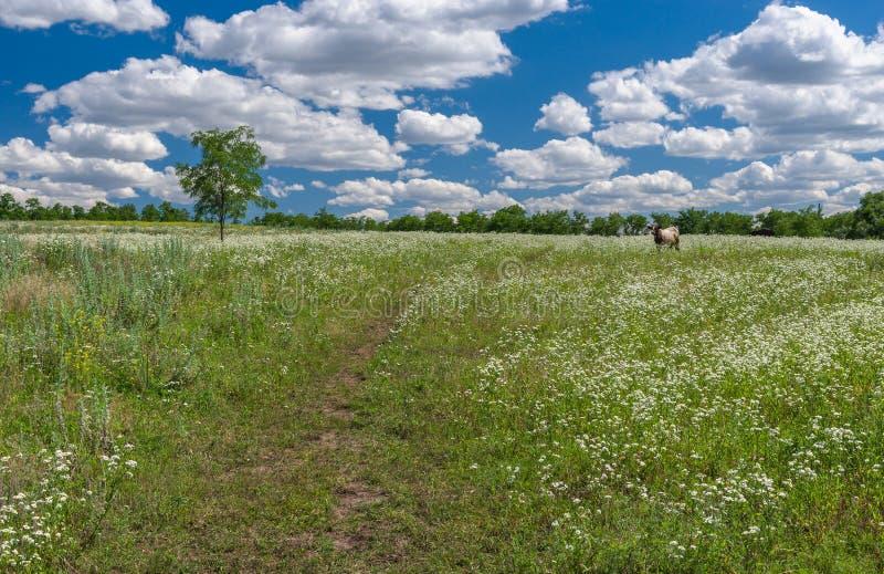 与野生春黄菊领域和孤独的母牛的6月风景 库存图片