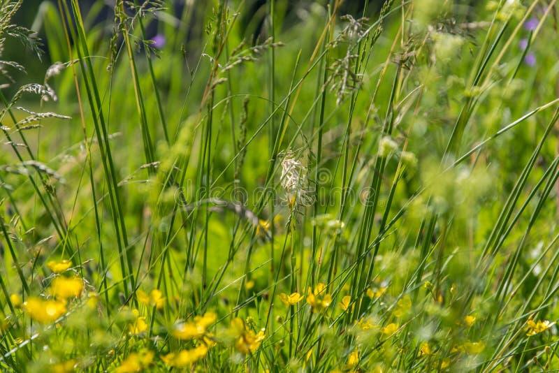 与野草和叶子的夏天背景在自然 在草甸特写镜头的水多的豪华的绿草 库存图片