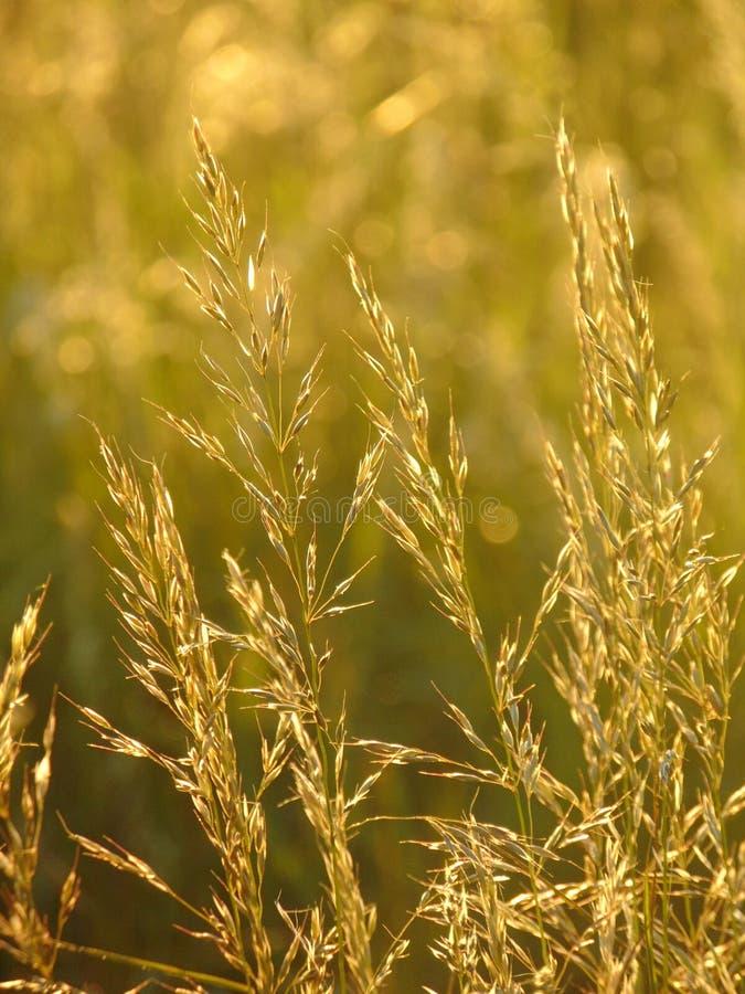 与野草装饰背景纹理的宏观照片在晴朗的金黄光的 库存图片