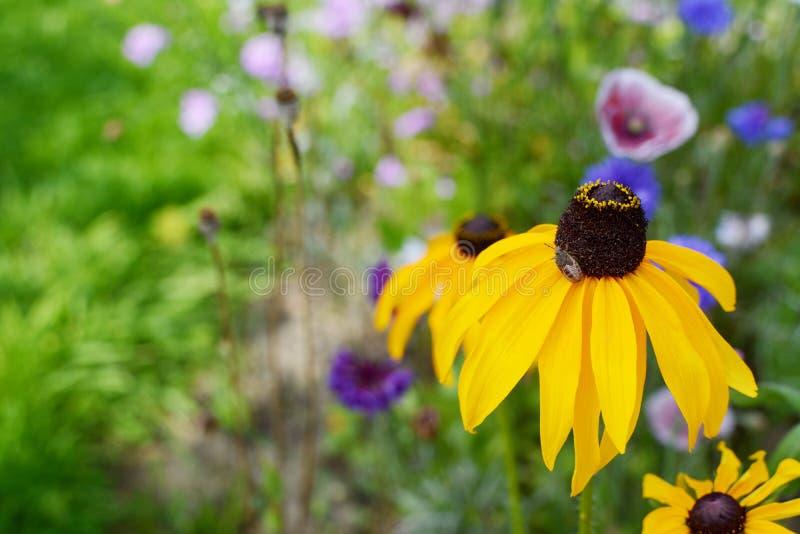 与金雀花盾臭虫若虫的黑眼睛的苏珊花 图库摄影