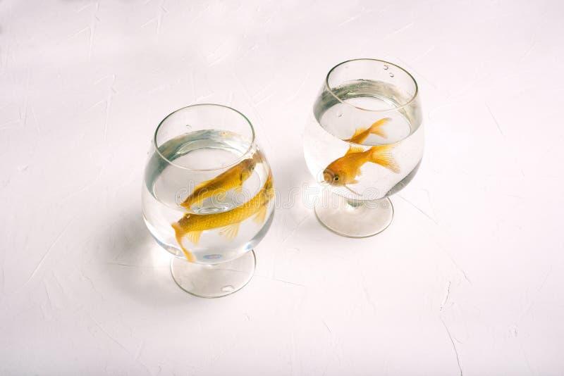 与金鱼的分开的玻璃 两条金黄色鱼游泳在水中 在玻璃的孤独的鱼在白色背景 库存图片