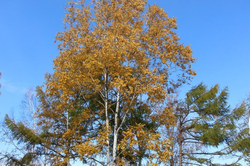 与金黄叶子的桦树和在蓝天/秋天背景的绿色落叶松属在公园环境美化/ 库存照片