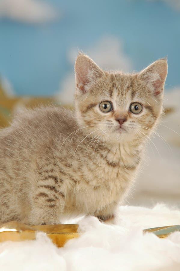 与金黄星的逗人喜爱的英国短发猫 免版税库存图片