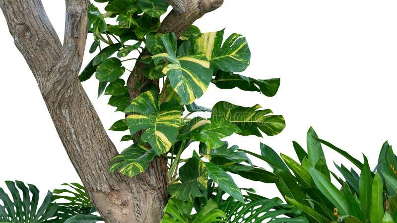 与金黄照片澳大利亚当地monstera的热带雨林密林树或生长恶魔的常春藤隔绝在白色 免版税库存图片