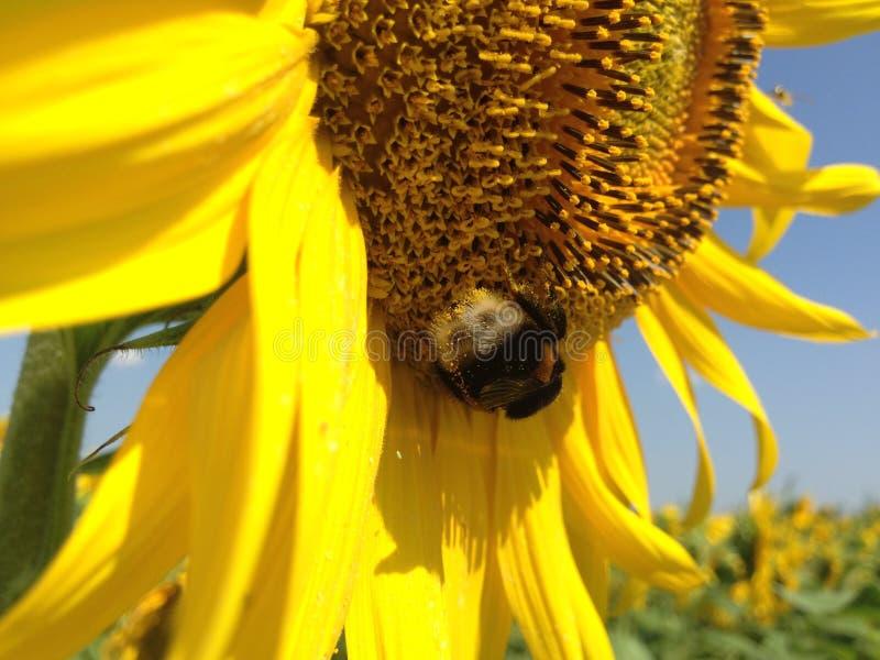 与金黄瓣的向日葵 库存照片
