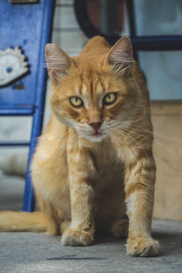 与金黄眼睛的成人离群橙色虎斑猫,看好奇照相机 免版税库存照片