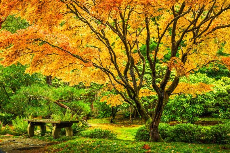 与金黄秋叶的鸡爪枫树 免版税库存照片
