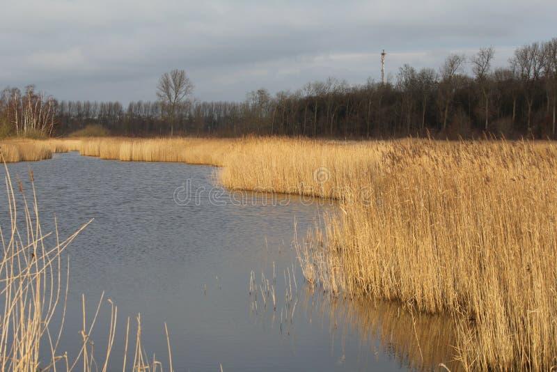 与金黄芦苇床的美丽的宽小河在边缘在冬天 免版税库存照片