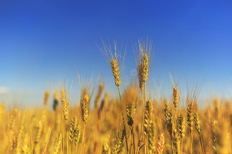 与金黄麦子耳朵的领域的农村风景反对蓝色清楚的天空的在一个温暖的夏日成熟了 库存照片