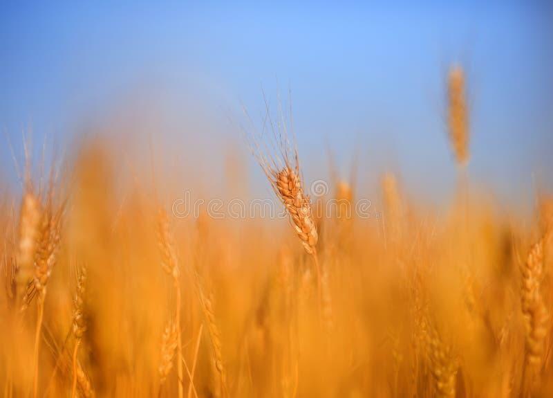 与金黄麦子耳朵的领域的农村风景反对蓝色清楚的天空的在一个温暖的夏日成熟了 库存图片