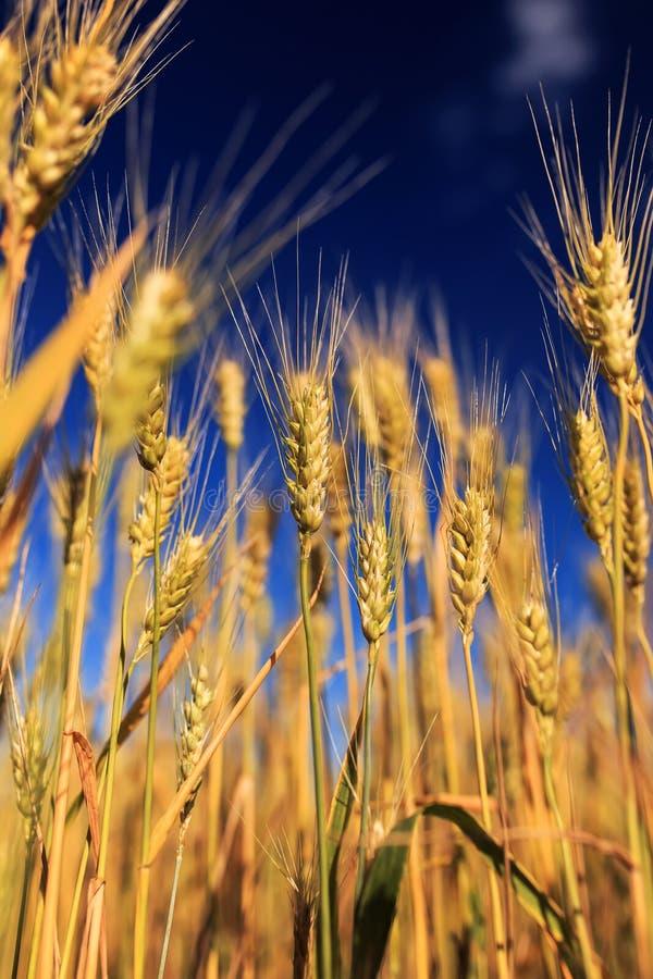 与金黄麦子耳朵的领域的农村风景反对蓝色清楚的天空的在一温暖的夏天好日子成熟了 库存照片