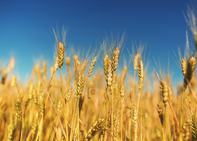 与金黄麦子耳朵的领域的农村风景反对蓝色清楚的天空的在一温暖的夏天好日子成熟了 免版税库存照片
