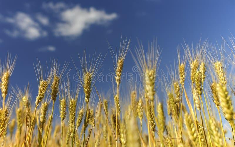 与金黄麦子耳朵的领域的自然农村风景反对蓝色清楚的天空的在一温暖的夏天好日子成熟了 免版税库存照片
