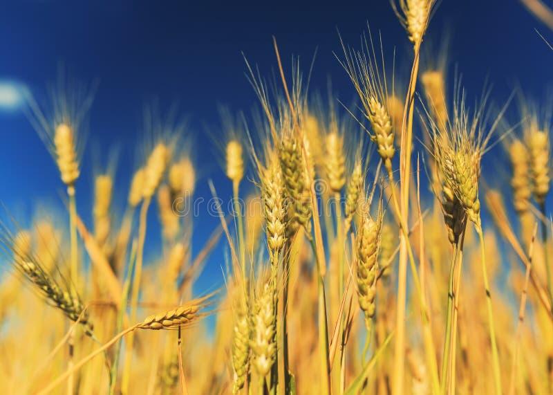 与金黄麦子耳朵的领域的自然农村风景反对蓝色清楚的天空的在一温暖的夏天好日子成熟了 库存照片