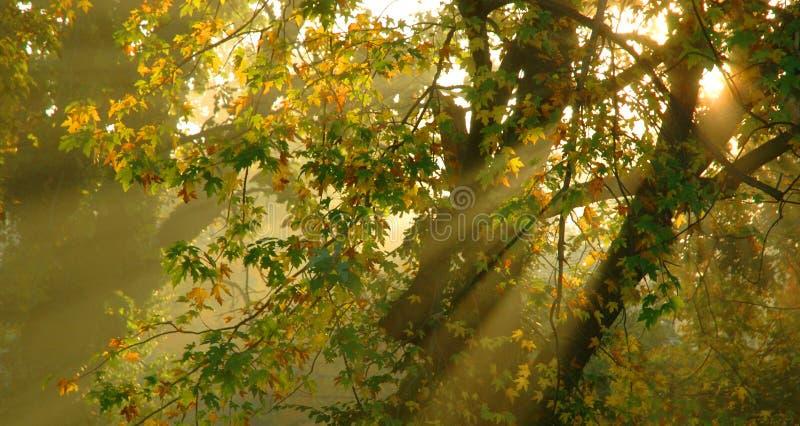 与金黄轻发光的有雾的早晨通过树有梦想 免版税库存图片