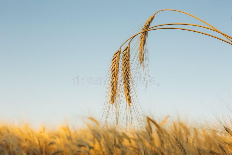 与金黄麦子关闭的耳朵的美好的自然日落风景 在阳光下的农村场面 麦田自然产品 免版税库存图片