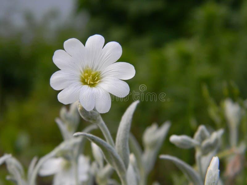 与银叶的白花 库存照片
