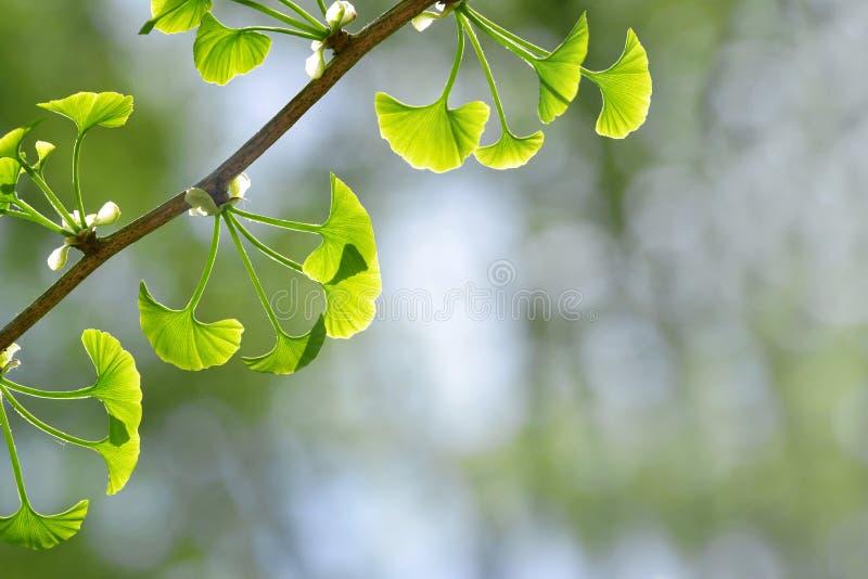 与银杏树Biloba年轻绿色叶子的春天分支  图库摄影
