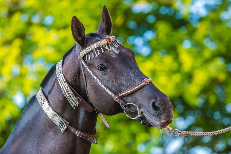 与银色三角背心的美丽的黑褐色akhal teke马 库存图片
