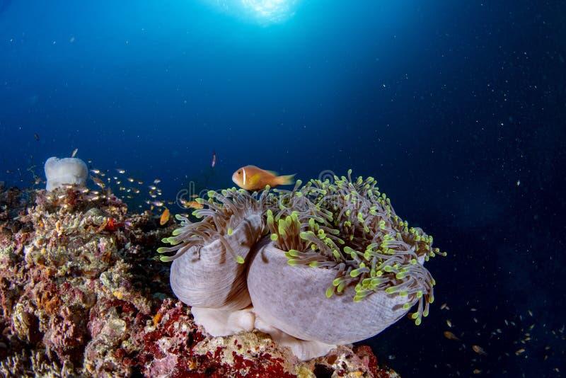 与银莲花属小丑鱼的五颜六色的水下的风景在深蓝色海洋 库存照片