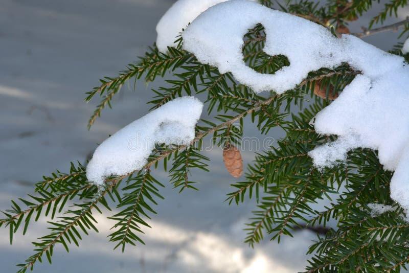 与锥体和雪的毒草名分支