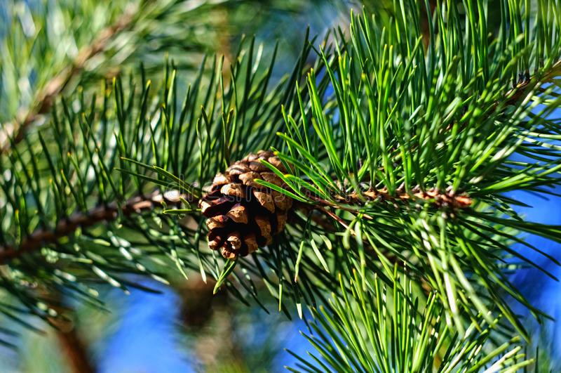 与锥体特写镜头的五颜六色的新绿色年轻杉木分支 免版税库存图片