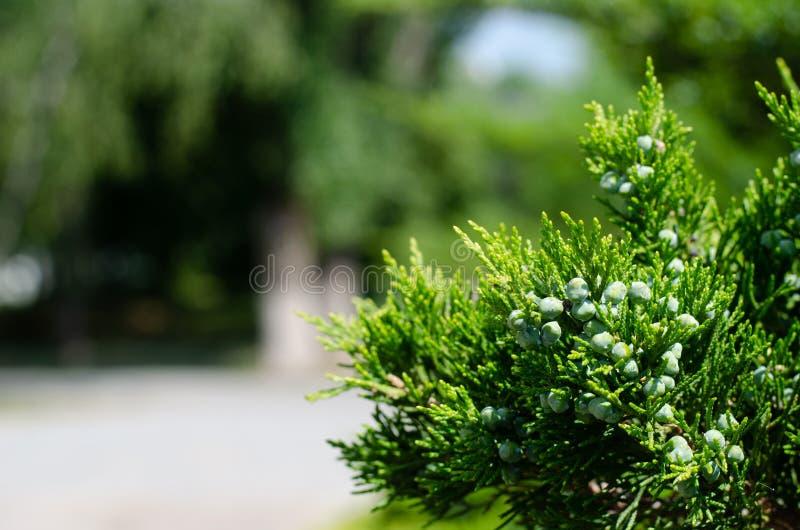 与锥体的杜松分支在绿色背景 设计的自由空间 免版税库存照片