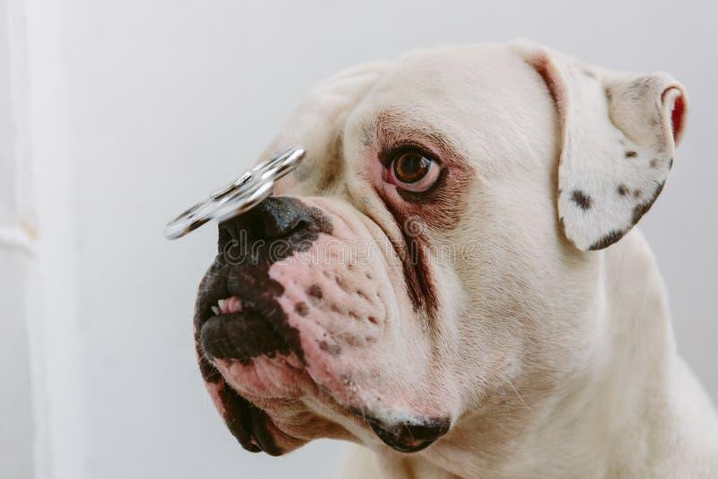 与锭床工人的逗人喜爱的狗鼻子的 免版税库存照片