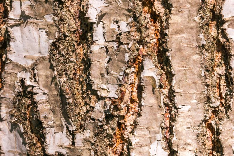 与镇压的粗糙的树皮 免版税库存照片