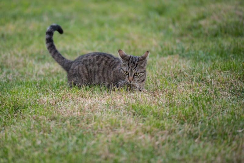 与镶边毛皮的可爱的嬉戏的灰色猫 免版税库存照片