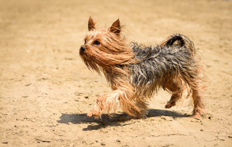 与长发的约克夏狗狗走和使用在海滩沙子的 图库摄影