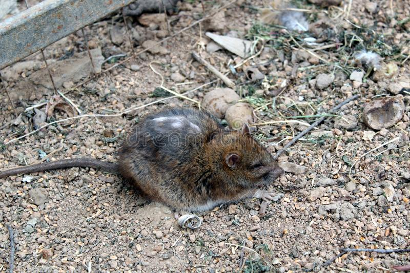 与长尾巴和破旧的一只老鼠坐地面并且不害怕任何东西 免版税库存图片