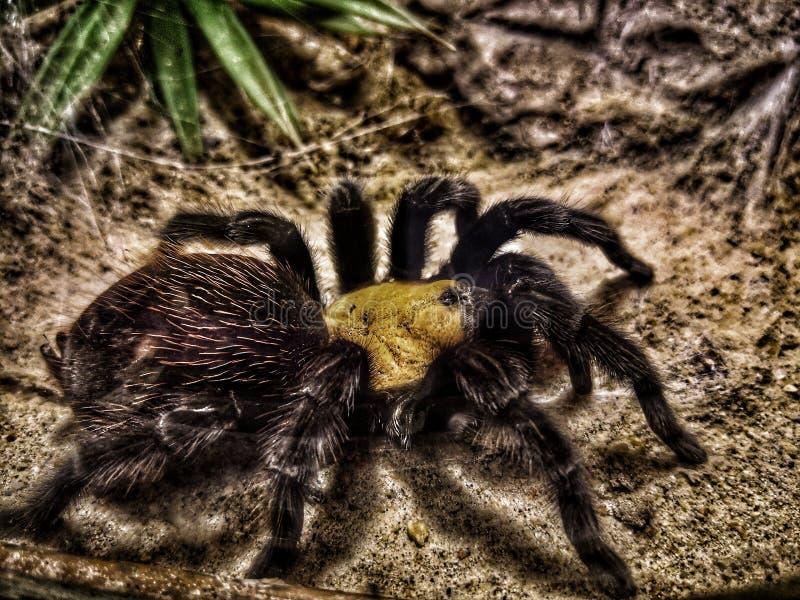 与长毛的长的腿的一只大黑塔兰图拉毒蛛蜘蛛 它在温暖的树慢慢地移动并且使平静 库存照片