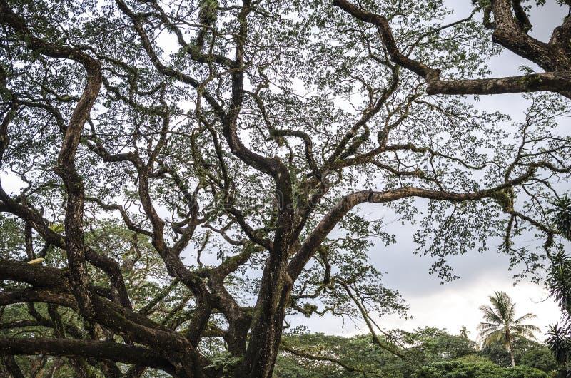 与长的分支的老桦树 图库摄影