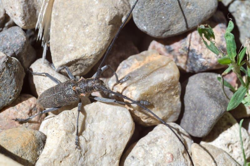 与长的天线的甲虫 免版税库存照片