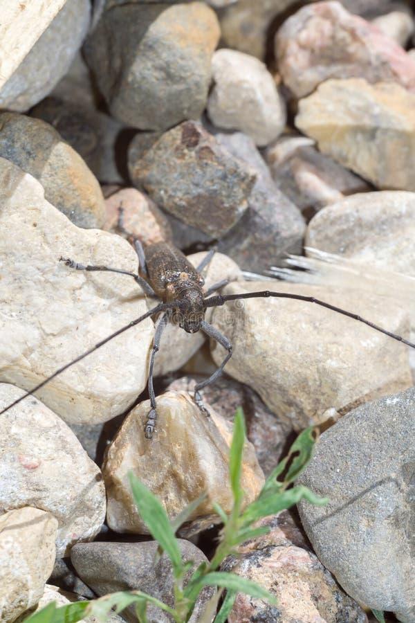 与长的天线的甲虫 免版税图库摄影