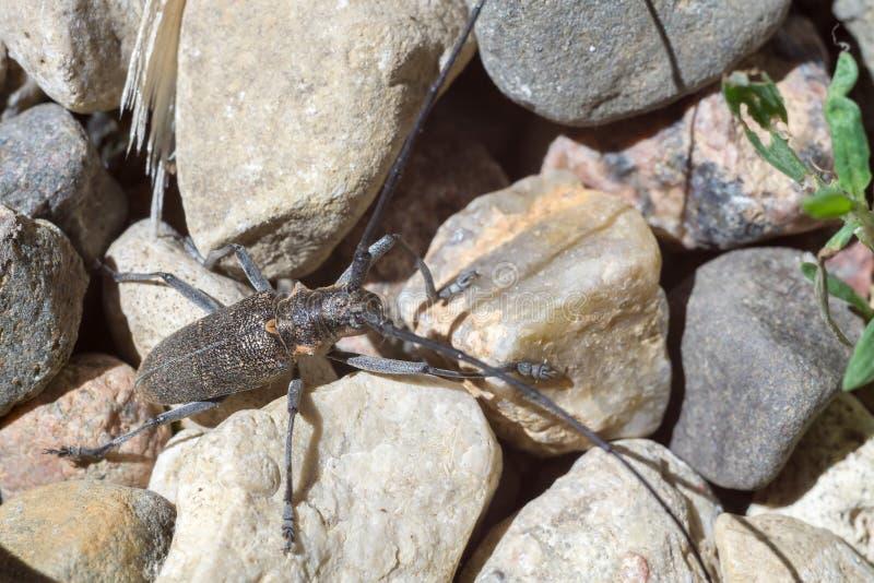 与长的天线的甲虫 库存照片