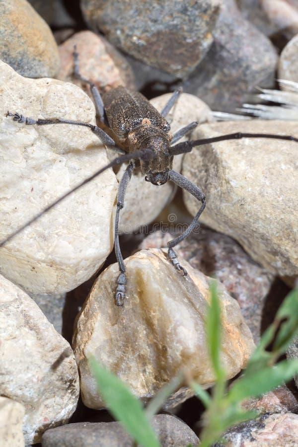 与长的天线的甲虫 图库摄影