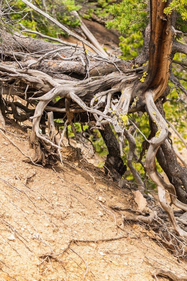 与长的根的树在艺术家点的地面上在黄石,黄石国家公园的大峡谷 库存照片