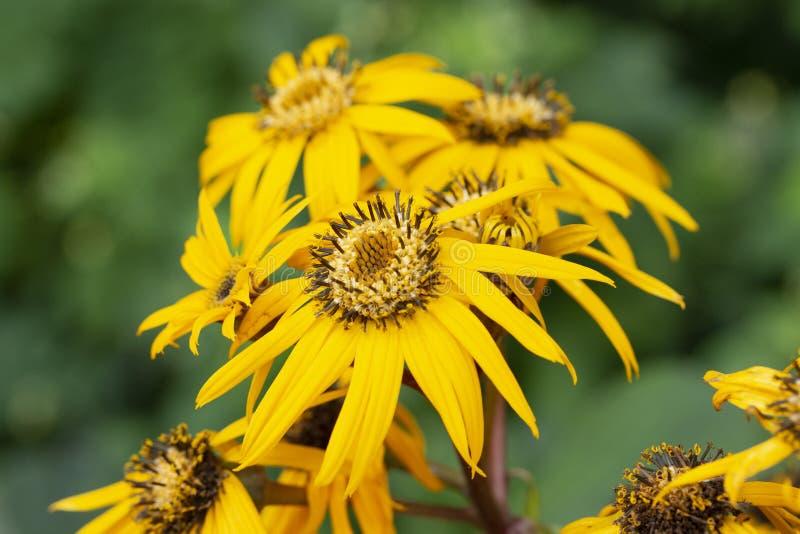 与长的瓣橐吾dentata天卫十的Buzulnik齿状品种天卫十黄色花 翠菊的装饰多年生植物 库存照片