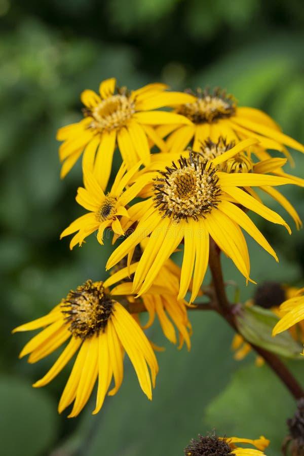 与长的瓣的橐吾dentata天卫十黄色花 翠菊属,特写镜头bokeh垂直的装饰多年生植物 库存照片
