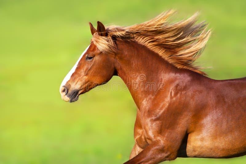 与长的白肤金发的鬃毛画象的红色马 库存照片