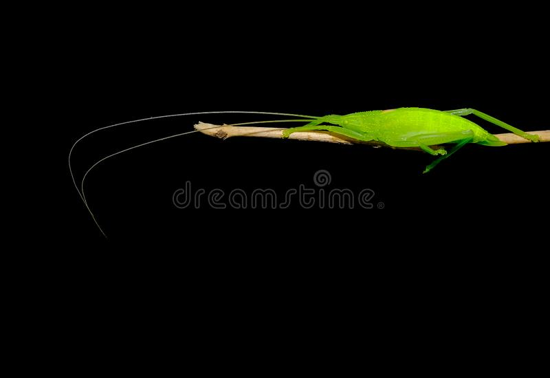 与长的触手逗留的绿色蚂蚱在小树枝有黑暗的背景 库存图片