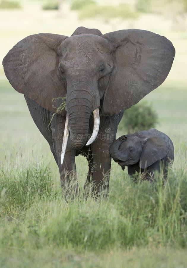 与长的象牙(非洲象属africana)的女性非洲大象与 库存照片
